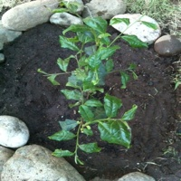 "Planting Our First Tea Bush For Making ""Twig Tea"""