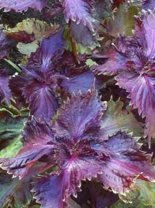 purpleshiso6